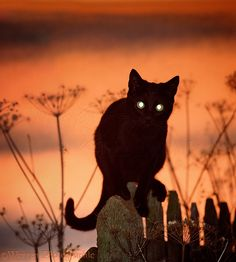 Discover The Russian Blue Cats - Cat's Nine Lives Cat Meowing At Night, Black Cat Aesthetic, Memes Arte, Black Cat Eyes, Norwegian Forest Cat, Russian Blue, Blue Cats, Warrior Cats, Cat Tattoo