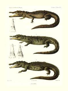 Crocodile | Musée des Confluences