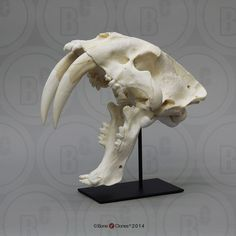 Sabertooth Cat, Smilodon Skull Antique Finish - Bone Clones, Inc. Tiger Skull, Cat Skull, Animal Skeletons, Animal Skulls, Crane, Clay Animation, Animation Character, Cat Anatomy, Animal Anatomy