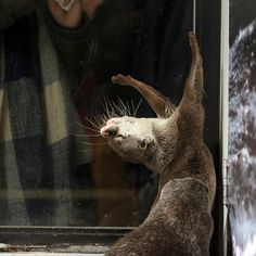 Otter Gets Dramatic.