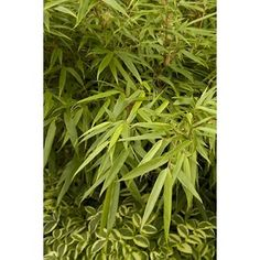Orange-red sheaths at each node add color to the green culms (stems) of this well-contained plant Perfect specimen for smaller gardens and courtyards Leaves do not curl in the sun as with some bamboos A favorite food of Giant Pandas Evergreen