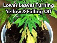 Nitrogen deficiency on a cannabis plant. Source: http://growweedeasy.com/nitrogen-deficiency-cannabis