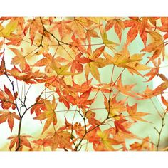 Autumn Photography, Orange Fall Leaves, Harvest, Fall Wall Art, Maple... ($30) ❤ liked on Polyvore featuring home, home decor and wall art