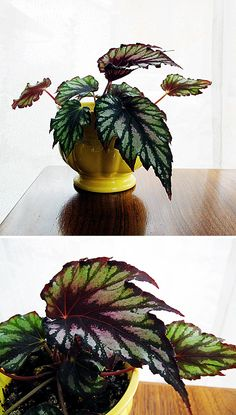 Rex Begonia Vintage Yellow Planter