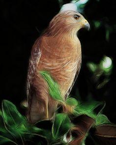 Cooper's Hawk Fractalius