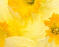 Daffodils - ooh, so pretty!