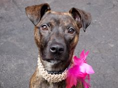 CASSIOPEIA - A1035193 ***TO BE DESTROYED 05/16/15*** To rescue a Death Row Dog, Please read this:http://information.urgentpodr.org/adoption-info-and-list-of-rescues/  To view the full album, please click here: http://nycdogs.urgentpodr.org/tbd-dogs-page/