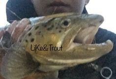 Trout, Fish, Pets, Animals, Animals And Pets, Animales, Animaux, Brown Trout, Animal