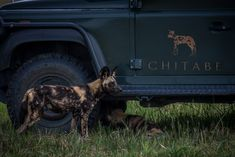 Chitabe's wild dogs play beneath the camps very appropiate logo on the vehicles door