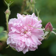 Rosa 'Omar Khayyam' / Damask Rose / Soft pink flowers / Very fragrant / 3 x 3ft (About 1853)