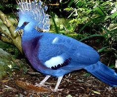 Tropical Rainforest Birds | Tropical Rainforest Birds - Victoria-Crowned ... on Picsity