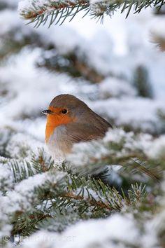Rotkehlchen, aufgeplustert im Winter bei Schnee, Erithacus rubecula, robin                                                                                                                                                      Mehr