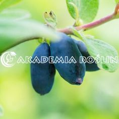 Jagoda kamczacka 'Bakczarskaja Jubilejnaja' ® Eggplant, Vegetables, Food, Essen, Eggplants, Vegetable Recipes, Meals, Yemek, Veggies