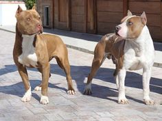 Pitbull Terriers