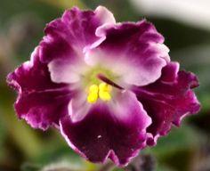 Crimson Ice Standard African Violet