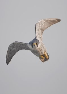 Peregrine Falcon by Michael Southcott