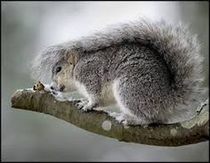 squirrel sheltering under own tail