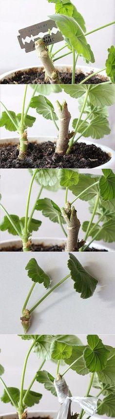 (23) Los compañeros de clase. Novedades en Pelargonium. La vacunación!