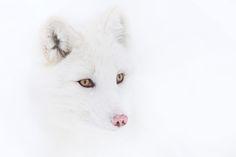 Arctic Fox - Jim Cumming