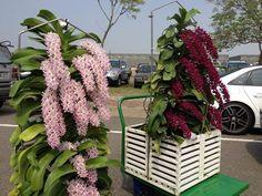 Rhynchostylis Gigantea Red - Raiz aérea - Muda via Epiphyte, Growing Orchids, Outdoor Structures, Orange, Garden, Portal, Southeast Asia, Wordpress, Facebook