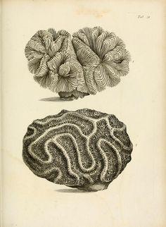 Meandrina. Exposition méthodique des genres de l'ordre des polypiers Paris :Agasse,1821. Biodiversitylibrary. Biodivlibrary. BHL. Biodiversity Heritage Library