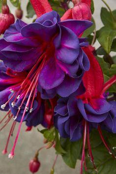I love Fuchsia Flowers! image found at finartamerica.com