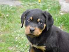 Adorable Rottweiler Puppies. For more cute puppies, check out our youtube channel: https://www.youtube.com/channel/UCH7efODYtEdnWfAm1eS4NMA