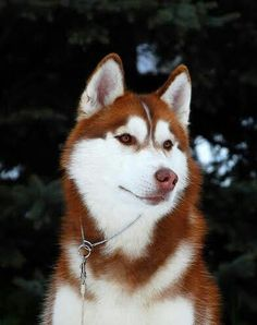 Wonderful All About The Siberian Husky Ideas. Prodigious All About The Siberian Husky Ideas. Cute Husky, Husky Puppy, Funny Husky, Red Husky Puppies, Husky Meme, Malamute Husky, Pomeranian Husky, Pomsky, Samoyed