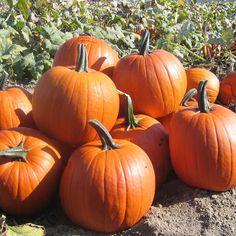 Per Pack Magic Lantern Pumpkin Seeds