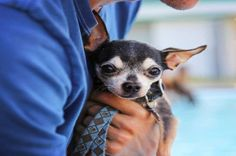 Different Types of Chihuahuas Dog Breeds
