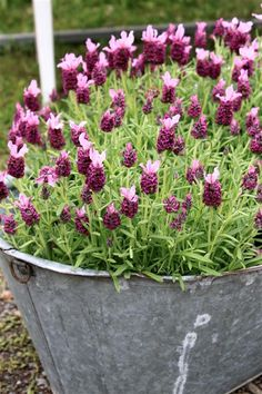 Butterfly lavender in shabby planter, this would look great by a front porch, one each side of the door. Or in a courtyard setting Container Plants, Container Gardening, Love Flowers, Beautiful Flowers, Deco Floral, Lavender Fields, Plantation, Dream Garden, Garden Inspiration