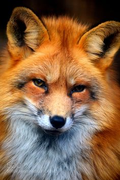 http://ift.tt/1K6283m #animals Fox portrait by Korinna76 http://ift.tt/1JSiwVh