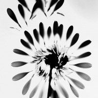 1X - Photo Awards 2013  Morphology Photogram