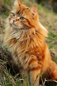 Most Popular Long Haired Cat Breeds Orange Maine coon cat. Pretty Cats, Beautiful Cats, Animals Beautiful, Pretty Kitty, Gatos Maine Coon, Maine Coon Cats, Cute Kittens, Cats And Kittens, Cats Bus