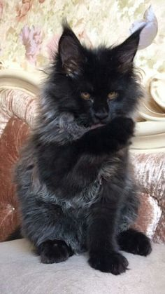 Maine Coon has a very serious look, don't you think? :)This Maine Coon has a very serious look, don't you think? Kittens Cutest, Cats And Kittens, Ragdoll Kittens, Tabby Cats, Funny Kittens, Bengal Cats, White Kittens, Kitty Cats, Animals And Pets