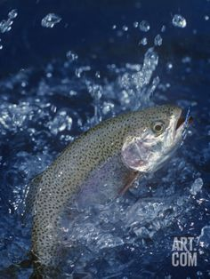 Rainbow Trout Photographic Print by Wally Eberhart at Art.com