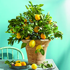 Grow a Meyer Lemon Tree   Sweet, juicy fruit isn't the only thing that's delicious about Meyer Lemons.