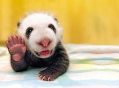 Pandas Expressed: The Top 10 Animal Panda Lookalikes