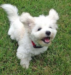 Maddie the outgoing Coton de Tulear.  I've learned that this breed is the national dog of Madagascar.