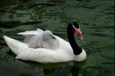 Loving Wings - Swan and cygnet