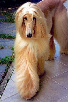 Compartimos el mismo espacio que este preciosísimo Afghan Hound Puppy Dog(Perro de caza afgano)