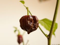 In this post you will learn how to grow chili peppers from seed. You'll find tips on growing chilies both outdoors and indoors, and how to store your crop.