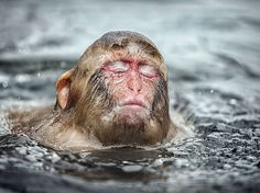 Having a bad hair day? Japanese macaques go for the wet look after taking a hot bath Nagano, Snow Monkeys Japan, Jigokudani Monkey Park, Japanese Macaque, Joseph, Wet Look, Hippopotamus, Bad Hair Day, Park
