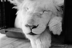 White Lion Photography Wild Animal by ChasingShadowsPhotos on Etsy