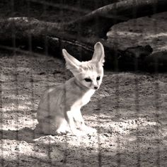#charentemaritime #zoo #lapalmyre #fennec