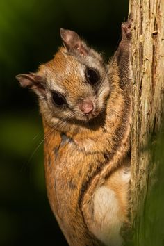 Northern Flying Squirrel - A nice surprise at my folks cottage...a Northern Flying Squirrel has built a nest inside one of their BBQs.  Needless to say that one won't be fired up anytime soon :-)Val-des-monts, Quebec, Canada.