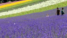 The lavenders are at their peak and in full bloom in the Furano area of Hokkaido. Some 60,000 lavender plants are grown at Farm Tomita in the town of Nakafurano.