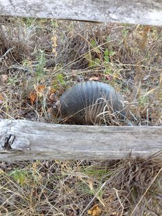 Armadillo at Fort Worth Nature Center camp.