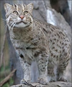 LEOPARD CAT, FISHING CAT, DESERT CAT AND OTHER SMALL ASIAN WILD ...