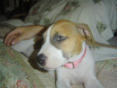Bailey - the cutest pit bull - ever!